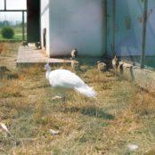 Станьково белый павлин