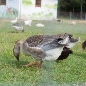 Станьково утка