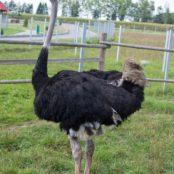 Станьково страус
