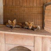 Станьково лисы