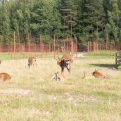 Станьково олени на поляне