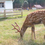 Станьково олень с рогами