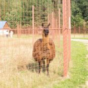 Станьково лама стоит
