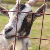 Станьково коза