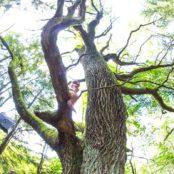 Станьково дуб 500 лет